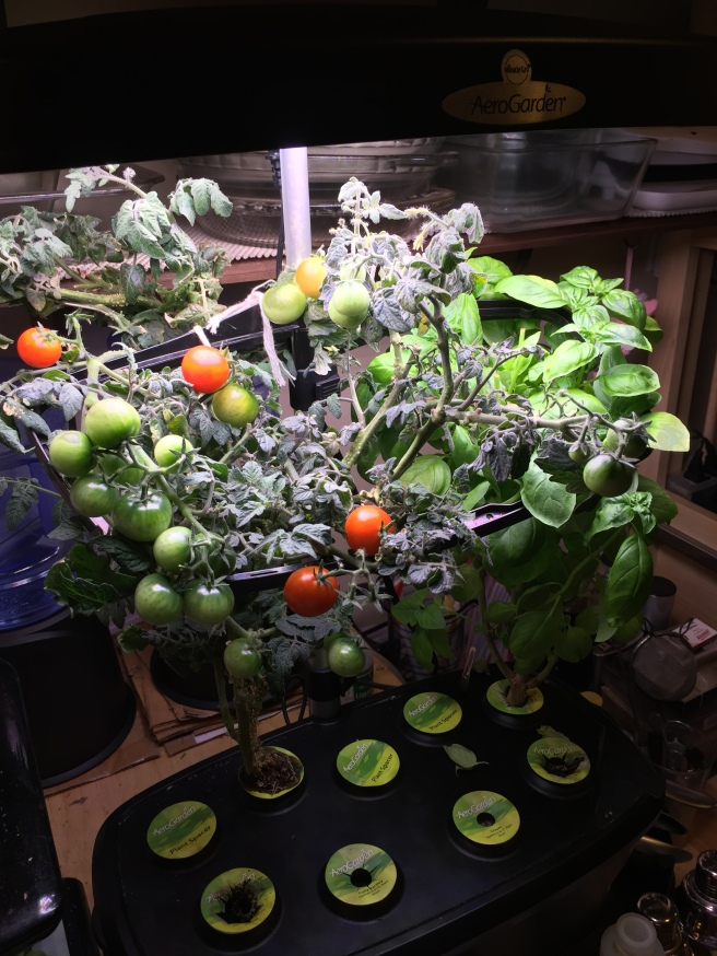 Tomato plant after one year