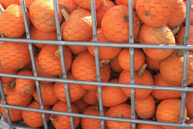 dreamstimefree_11441271 pumpkins bin