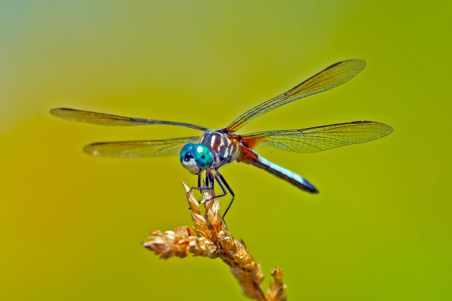 dreamstime_xxl_26401806 dragonfly